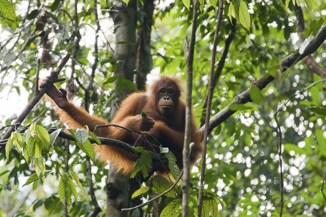 Orangutan in tree in Borneo, Malaysia